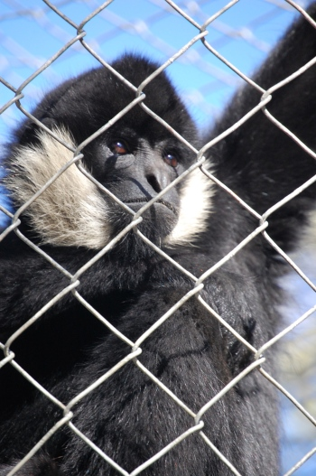 White-Cheeked Gibbon Credit: LIfe As a Wave