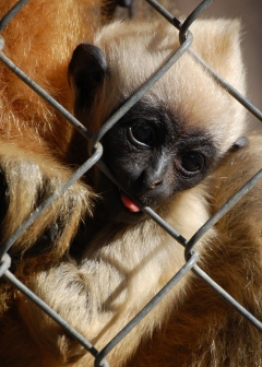 Dennis the baby gibbon.