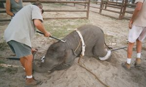 baby_elephant_trainings_in_circus_21